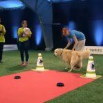 A kutya akadályversenyen vesz részt, a pályát azonban egyáltalán nem úgy teljesíti, ahogy azt a gazdi szeretné: óriási!