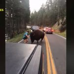 A férfi provokálni kezdte ezt a hatalmas bölényt: bődületes hiba volt