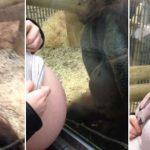 A várandós hölgy az orangután ketrecéhez nyomta pocakját, felvették, hogyan reagál ez az intelligens állat: