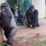 Nemcsak mi, a gorillák is rühellik a sok esőt: ez a videó most az internet kedvence