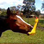 A ló először bizalmatlan az ajándékba kapott gumikacsával, de pár másodperc múlva fergeteges játékba kezd: