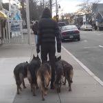 Milliók látták, hogyan sétáltatja ez a férfi az öt kutyáját, ráadásul póráz nélkül