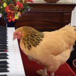 Szédületes: ez a csirke valóban zongorázik, és mindig a megfelelő hangot üti le