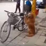 Mozdulatlatul őrizte a kutyus gazdija bicikliét: kész szerencse, hogy felvették, mit tett a kutya, mikor a férfi megjött