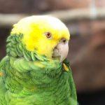Ez a Beyoncé slágert éneklő papagáj az internet új sztárja: a megszólalásig hasonlít a hangja az ismert énekesnőjéhez