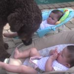 A hatalmas kutya odarohan az ikrekhez, és mindent megtesz, hogy elérje a célját
