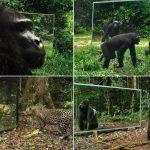 Egyszerre tanulságos, vicces és megható nézni, hogyan reagálnak a vadállatok, mikor meglátják saját tükörképüket