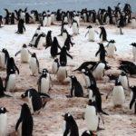 Az emberek 90%-a nem veszi észre, milyen állat bújt meg a pingvinek között: te meg tudod mondani?